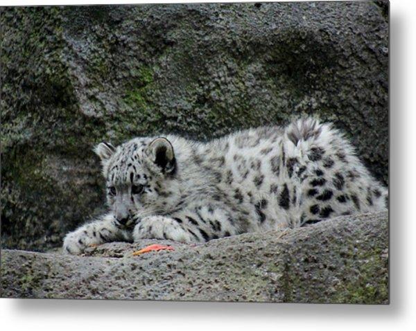 Curious Snow Leopard Cub Metal Print