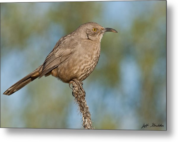 Curve-billed Thrasher Metal Print