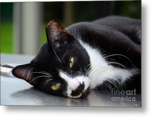 Cute Black And White Tuxedo Cat With Nipped Ear Rests  Metal Print
