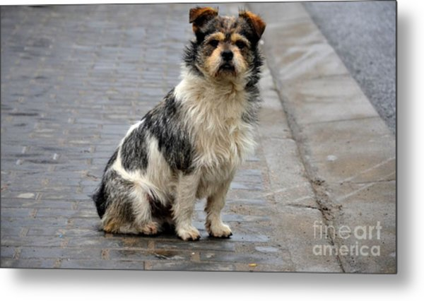 Cute Dog Sits On Pavement And Stares At Camera Metal Print