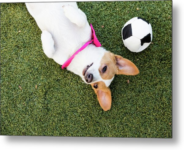 Cute Jack Russell-dachshund Mix With A Metal Print by Amandafoundation.org