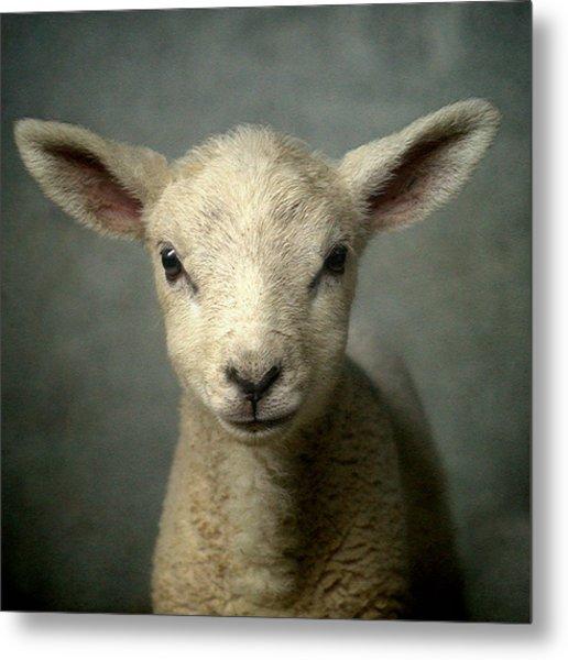Cute New Born Lamb Metal Print by Bob Van Den Berg Photography