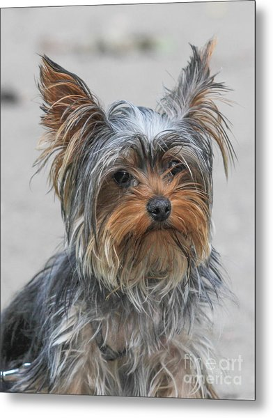 Cute Yorky Portrait Metal Print