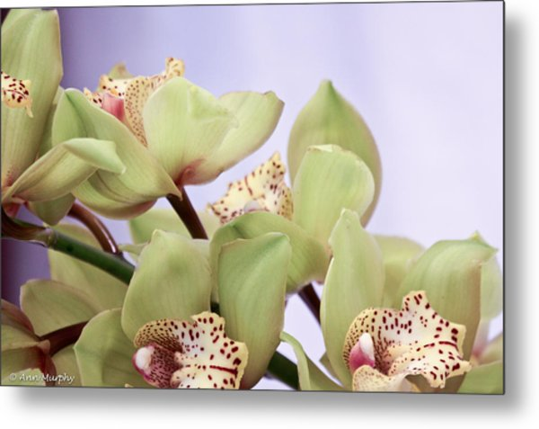 Cymbidium Orchids  Metal Print