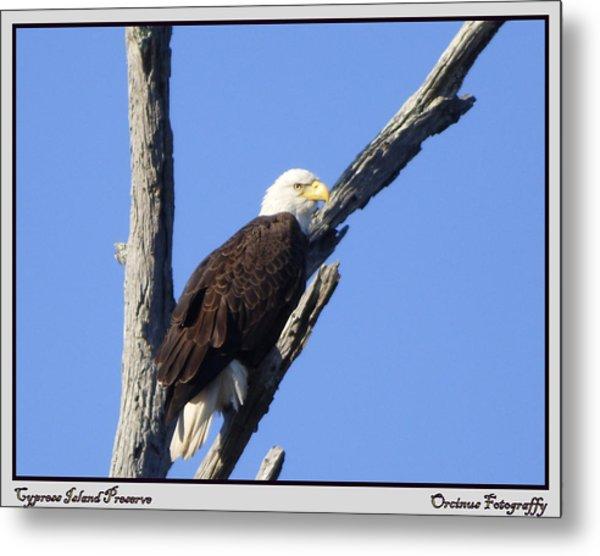Cypress Island Eagle Metal Print