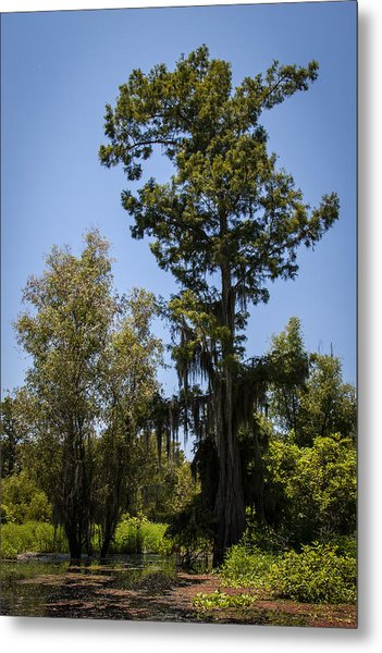 Cypress Tree With Moss Metal Print