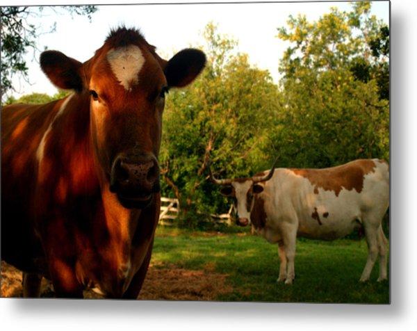 Dads Cows Metal Print
