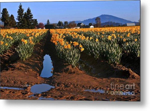Daffodil Field After A Spring Rain Metal Print