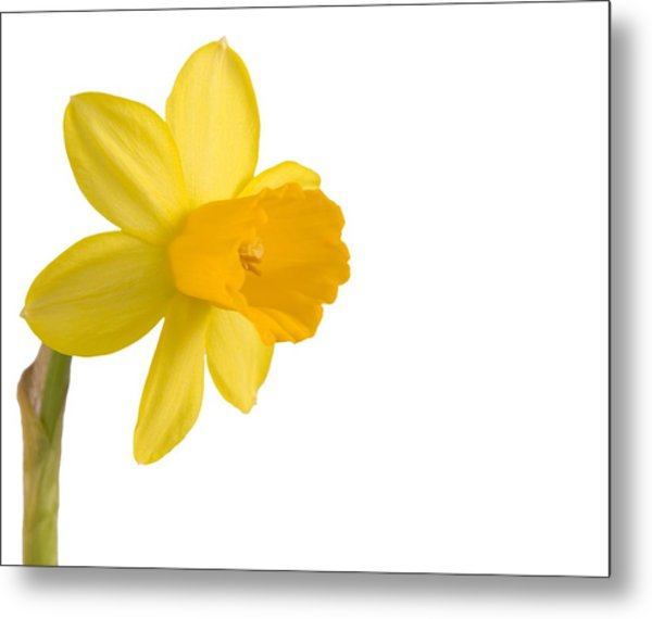 Daffodil Flower Isolated On White Metal Print by Anna Kaminska