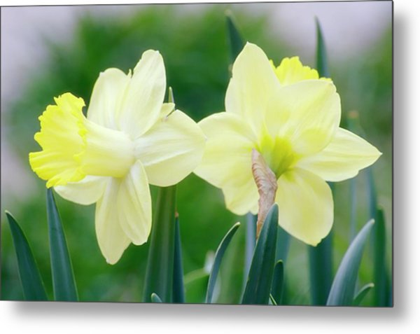 Daffodil Flowers (narcissus Sp.) Metal Print by Maria Mosolova/science Photo Library