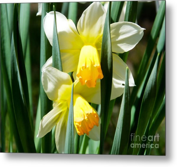Metal Print featuring the photograph Daffodil Hug by Kristen Fox