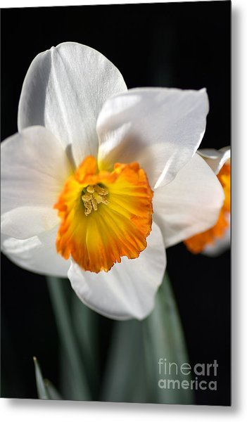 Daffodil In White Metal Print