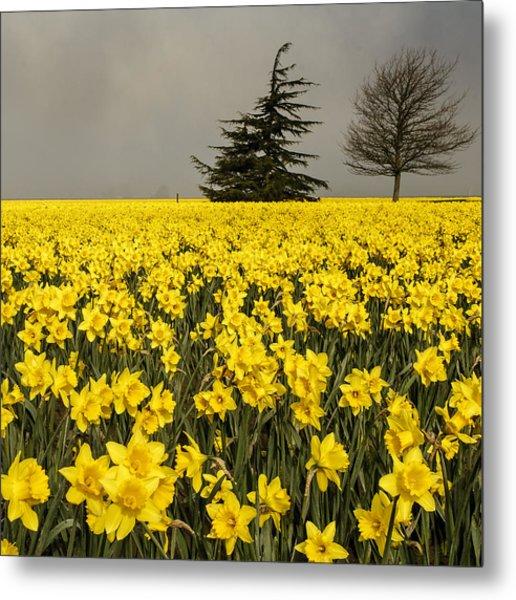 Daffodils A Plenty Metal Print