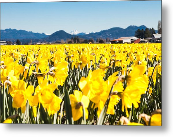 Daffodils And Snow-capped Mountains Metal Print