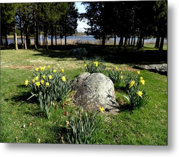 Daffodils By The Bay Metal Print by Kate Gallagher