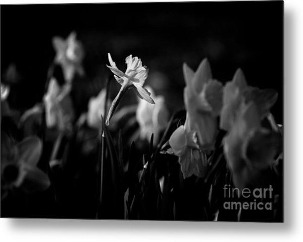 Daffodils In Black And White Metal Print