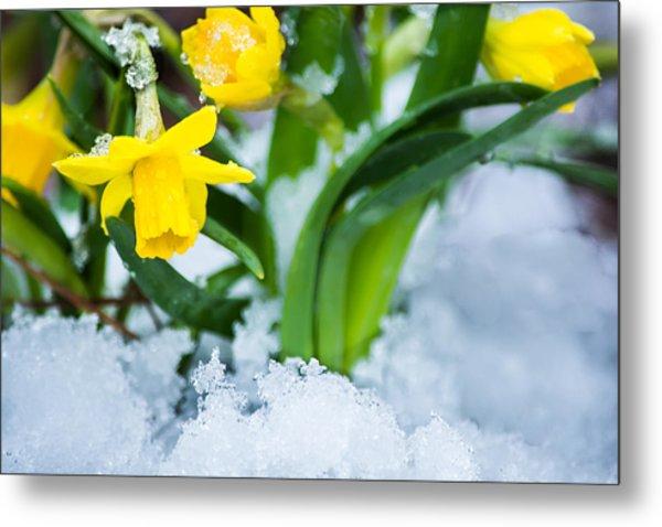 Daffodils In The Snow  Metal Print
