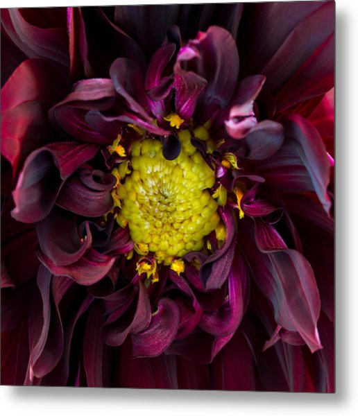 Dahlia - A Study In Crimson Metal Print
