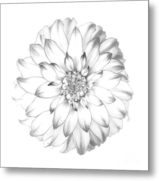 Dahlia Flower As Drawing In Black And White. Metal Print by Rosemary Calvert