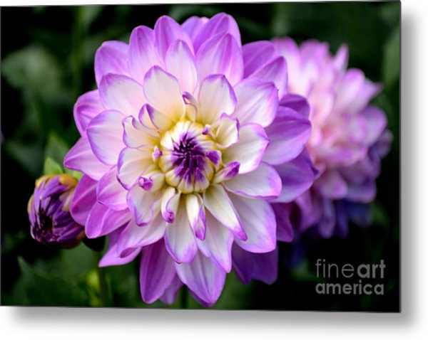 Metal Print featuring the photograph Dahlia Flower With Purple Tips by Scott Lyons