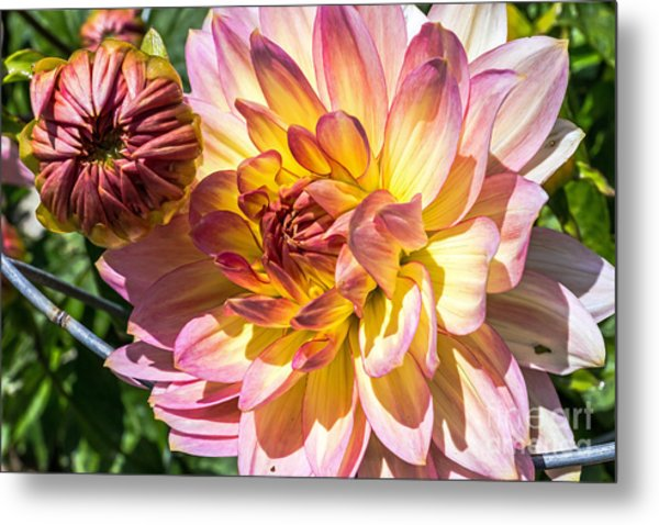 Metal Print featuring the photograph Dahlia by Kate Brown