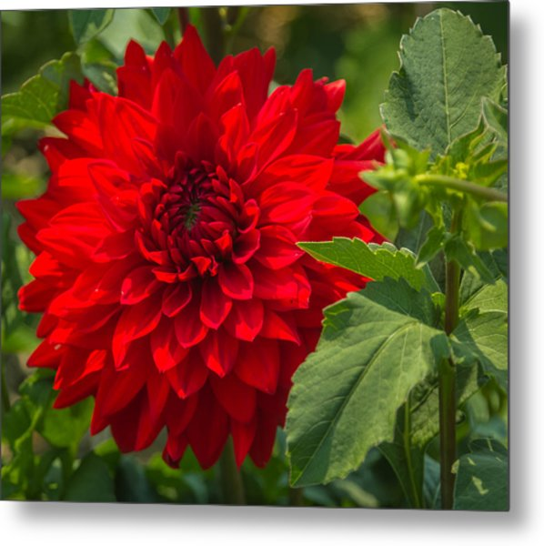 Dahlia Perfection Metal Print