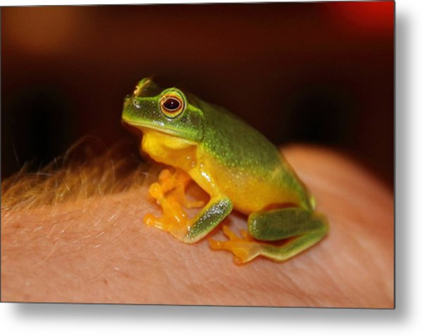 Metal Print featuring the photograph Dainty Tree Frog  by Debbie Cundy