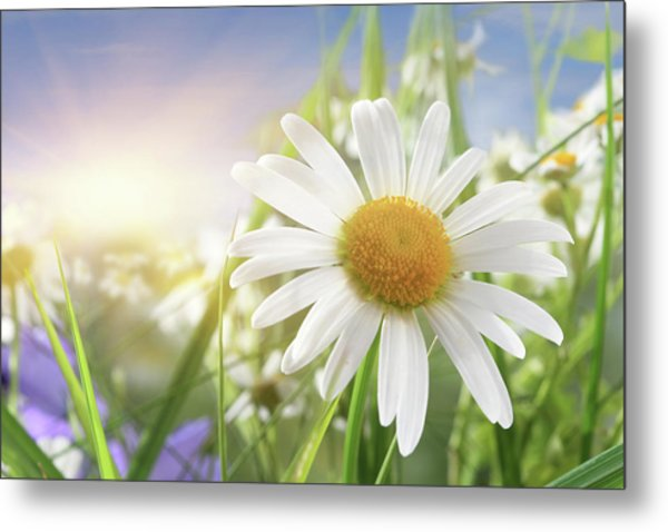 Daisy Close-up In Sunlight Metal Print by Pobytov