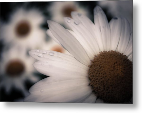Daisy Don't Doubt Does He Love Me Does He Love Me Not Metal Print