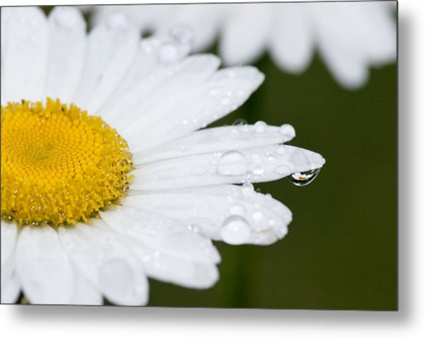 Daisy In A Drop Metal Print