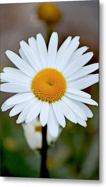 Daisy In The Morning Metal Print by Andrew Chianese