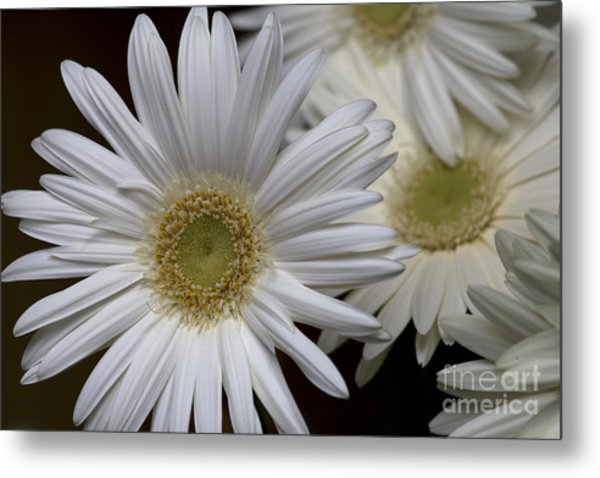Daisy Photo Metal Print