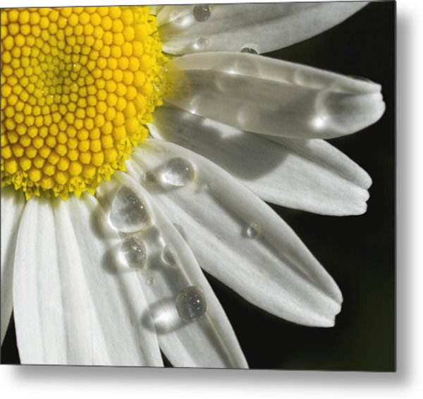 Daisy With Raindrops Metal Print