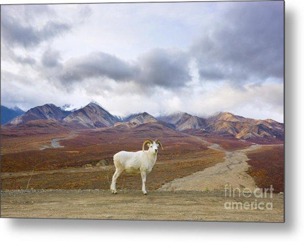 Dalls Sheep Ram Denali National Park Metal Print