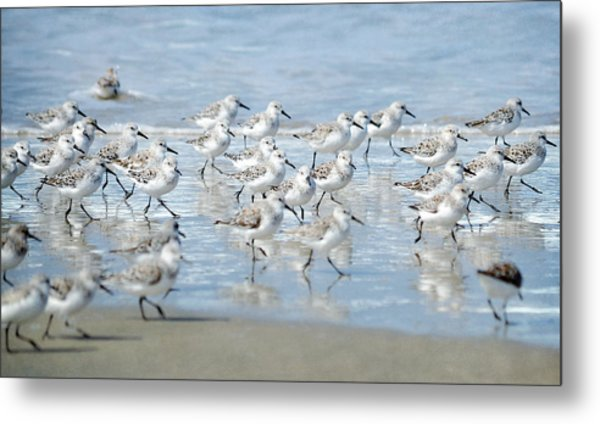 Dance Of The Sandpipers Metal Print