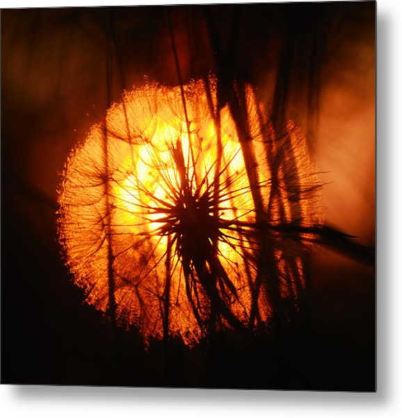 Dandelion At Sunset Metal Print