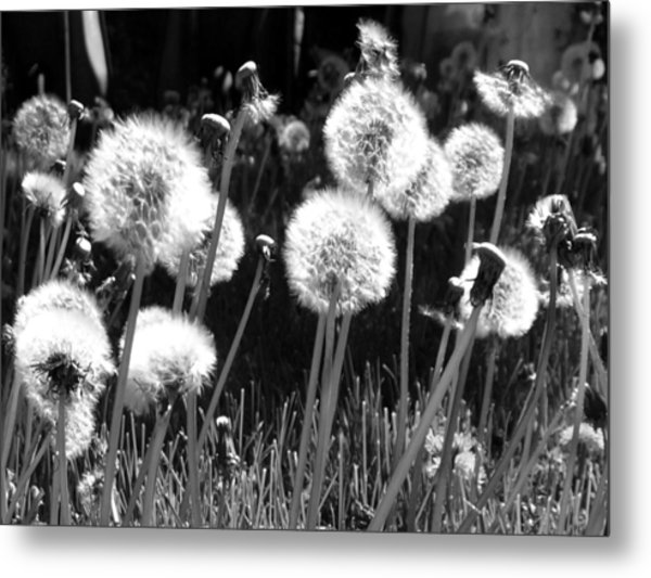 Dandelion Group Metal Print
