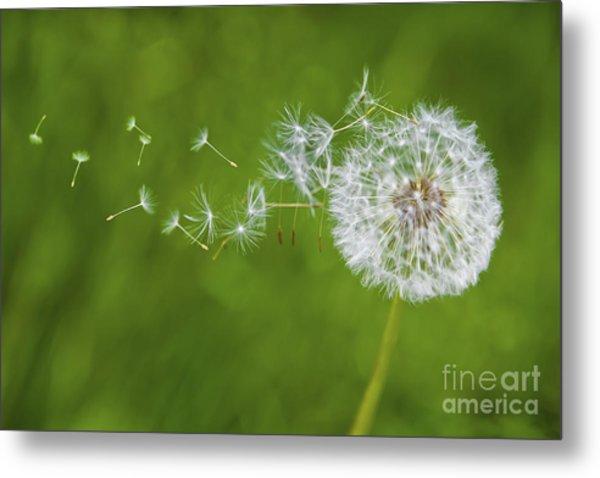 Dandelion In The Wind Metal Print