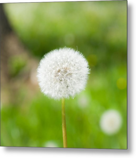 Dandelion Puffball Metal Print