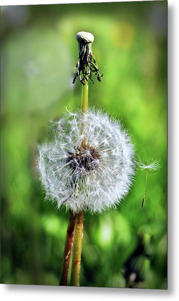 Dandelion Released Metal Print