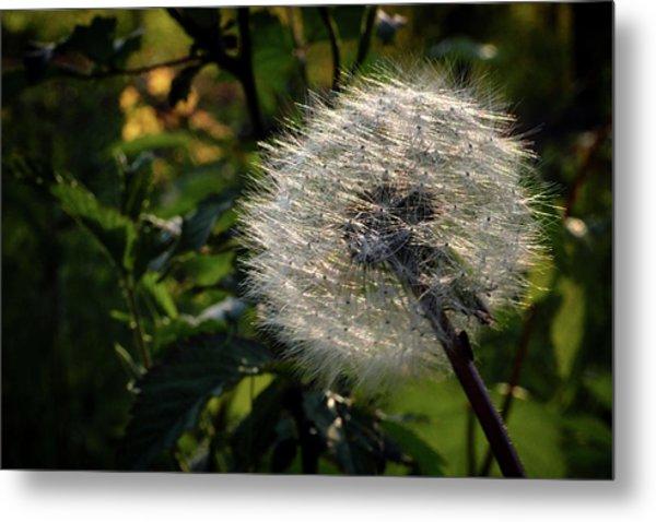 Dandelion Seeds Ready To Be Dispersed Metal Print