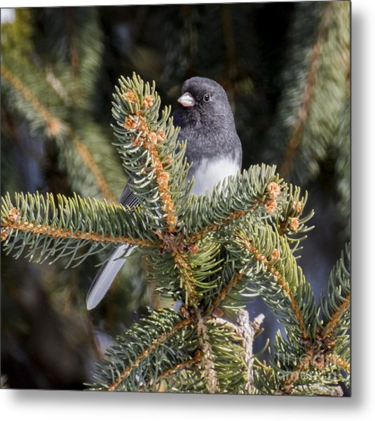 Dark-eyed Junco  Metal Print by Ricky L Jones