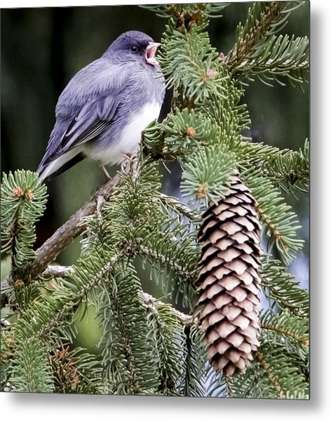 Dark-eyed Junco Speaks Out Metal Print