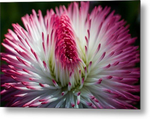 Dark Pink And White Spiky Petals Metal Print