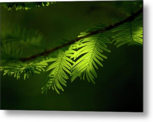 Dawn Redwood Foliage Metal Print