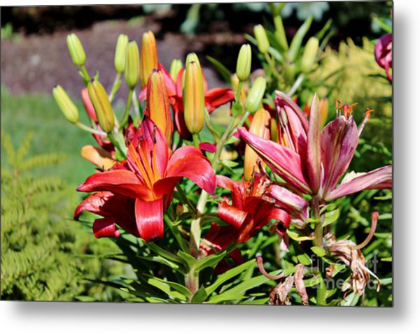 Day Lillies In The Garden Metal Print