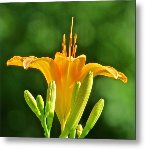 Tigerlily 116 Metal Print by Patsy Pratt