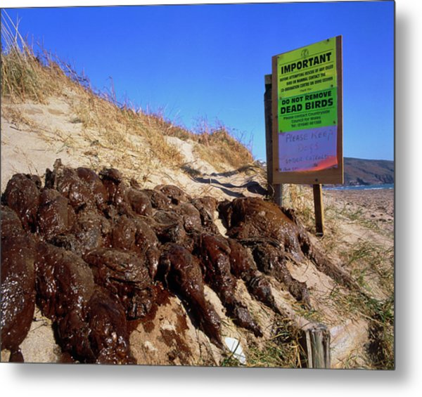 Dead Birds Killed By An Oil Spill At Sea. Metal Print by Simon Fraser/science Photo Library
