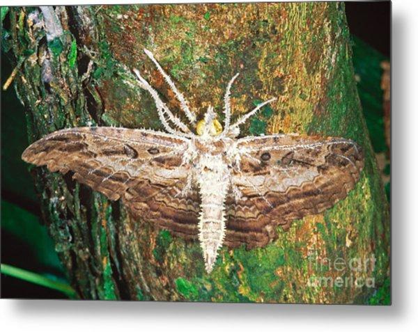Dead Moth Metal Print