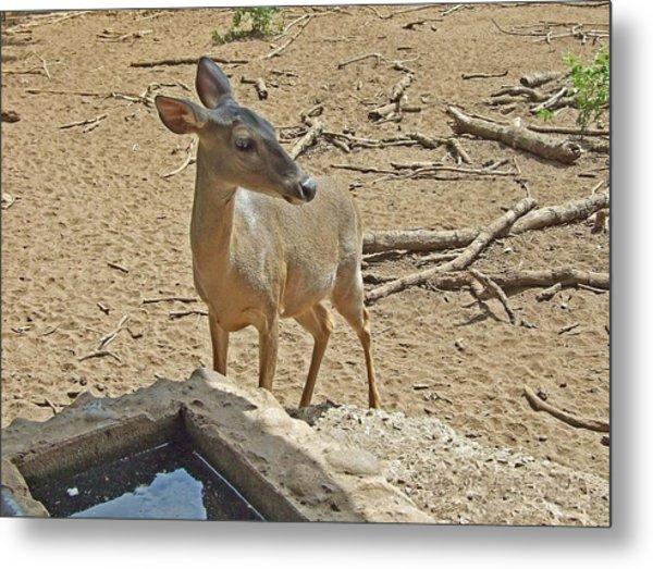 Deer At Waterhole Metal Print by Judith Russell-Tooth